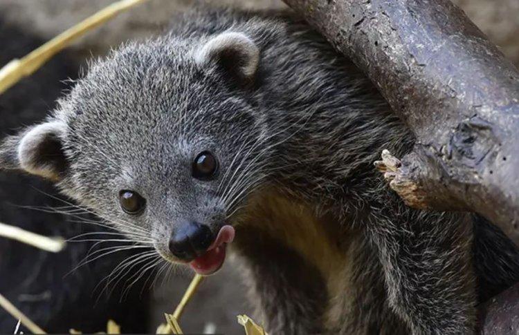 В Московском зоопарке появился «кошачий медведь» Гула