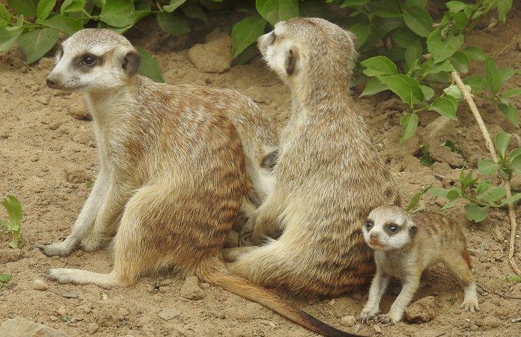 В Московском зоопарке появились детеныши сурикатов