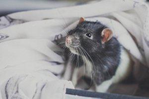 Эксперт по этикету: дарить крыс на Новый год неприлично