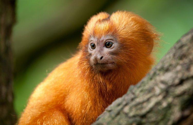 В Московский зоопарк привезли редчайших львиных обезьянок