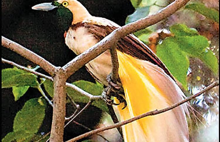 Вороны в павлиньих перьях