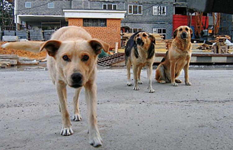 Московские фобии: дикие собаки