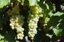 Виноградный бренди
