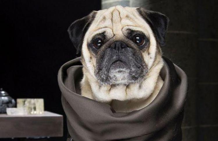 Мопсы Вестероса: кто переодел собак в Джона Сноу и Дейнерис?