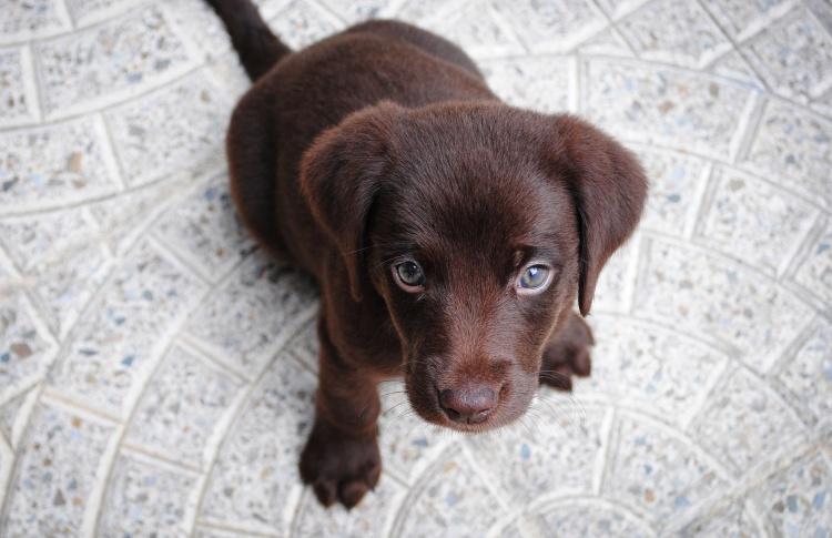 Как и зачем купировать уши и хвост щенку
