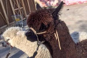 На ВДНХ откроется сезон бесплатных прогулок с альпаками