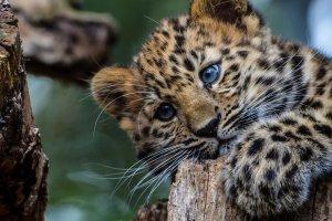 В Московском зоопарке от Николая родились леопардики