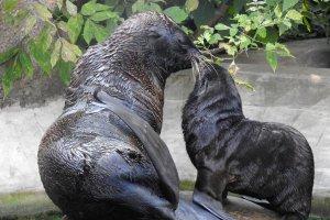 В Московском зоопарке родился морской котенок
