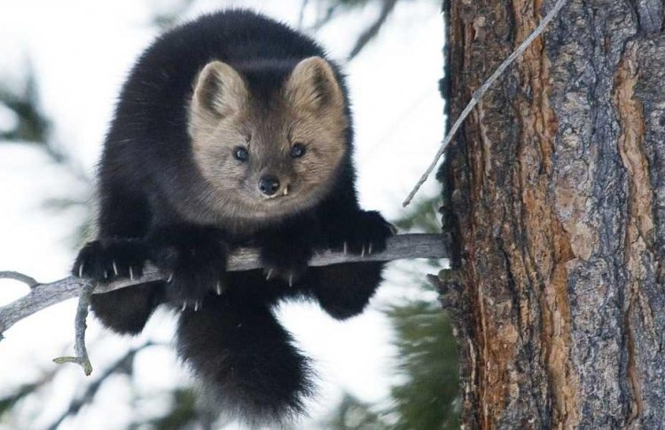 Черные соболя едут в Московский зоопарк
