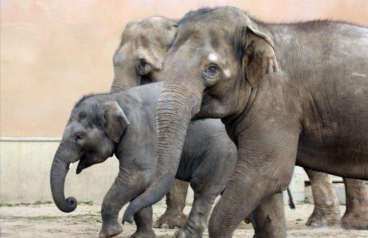 Слоненок Филимон примет участие в Дне слона в Московском зоопарке