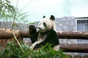 Трижды победители: Московский Зоопарк и его панды получили три международные премии The Giant Panda Global Awards