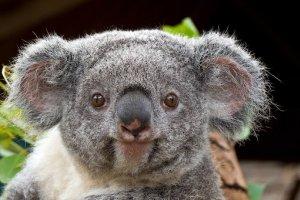 Заповедник коал в Австралии начал постоянные видеотрансляции