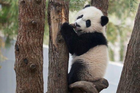 Панды, пингвины и белухи: зоопарки по всему миру ведут прямую трансляцию