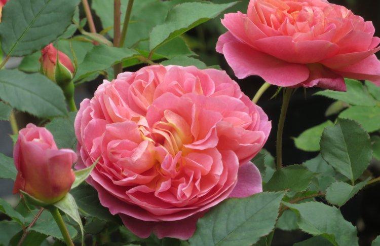 В Аптекарском огороде пройдет выставка роз